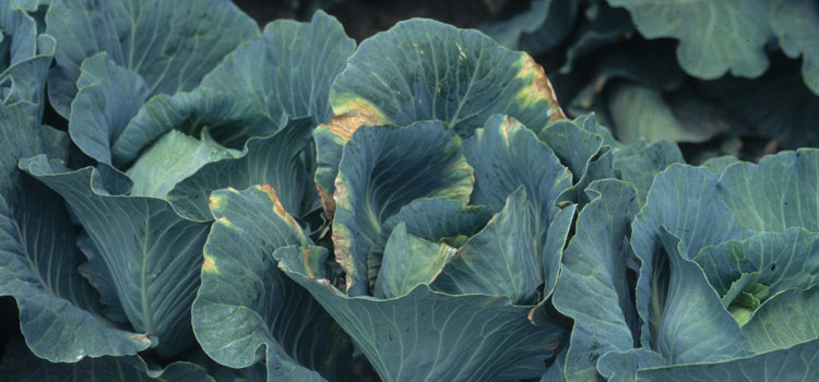 General tips for growing cabbage